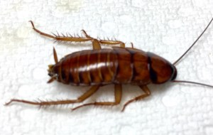 Late instar American cockroach, whose favorite habitat is the sewer. This cockroach is known to carry a number of parasites and diseases of concern to humans and our companion pets.