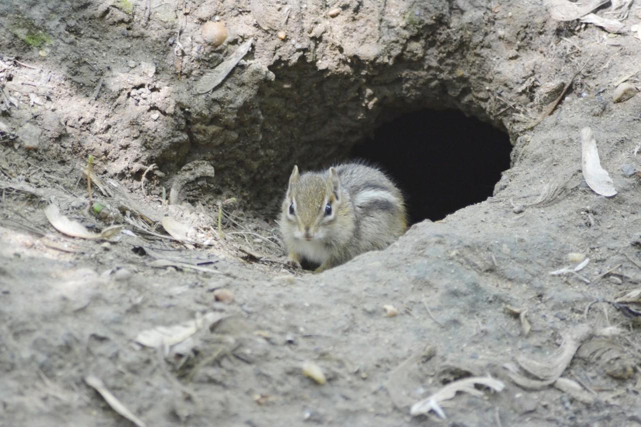 Chipmunk Holes Identifying