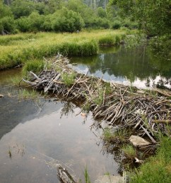 beaver dam on small river is a good place to set traps [ 1254 x 836 Pixel ]