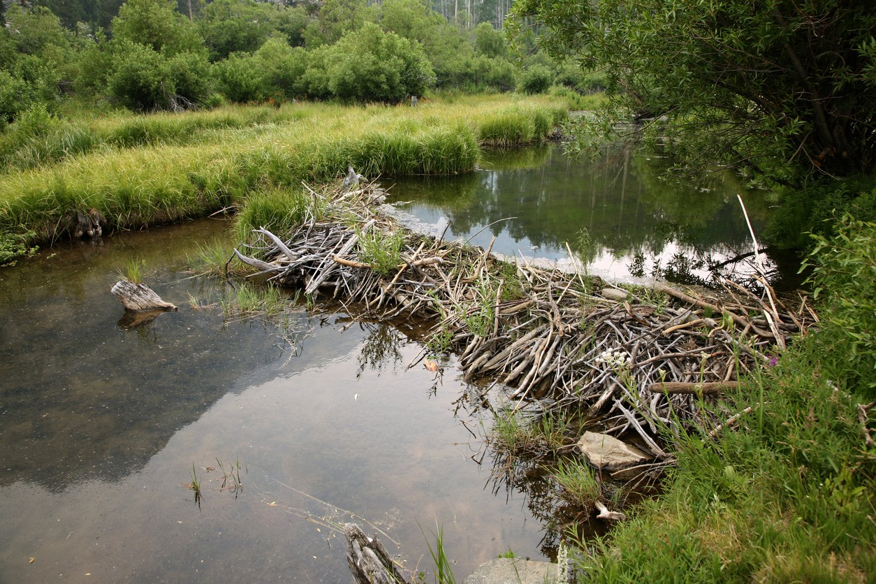 hight resolution of beaver dam on small river is a good place to set traps