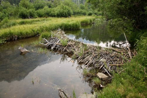 small resolution of beaver dam on small river is a good place to set traps