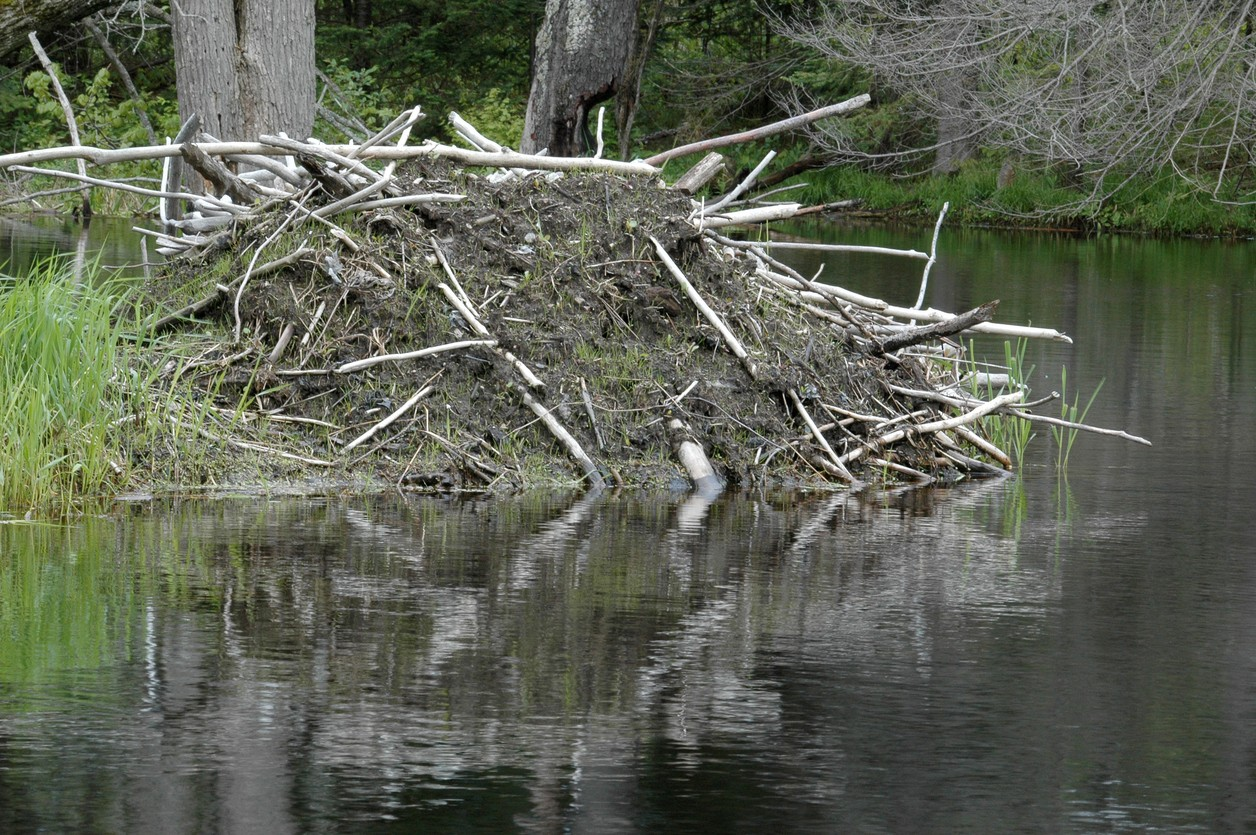 hight resolution of beaver lodges will usually have active trails close by