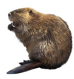 beaver [ 1072 x 979 Pixel ]