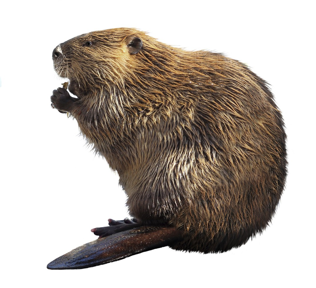hight resolution of beaver