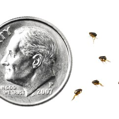 Can Dog Fleas Live In Sofas Sofa Headrest Adjust Mechanism Flea Control And Treatments For The Home Yard Garden