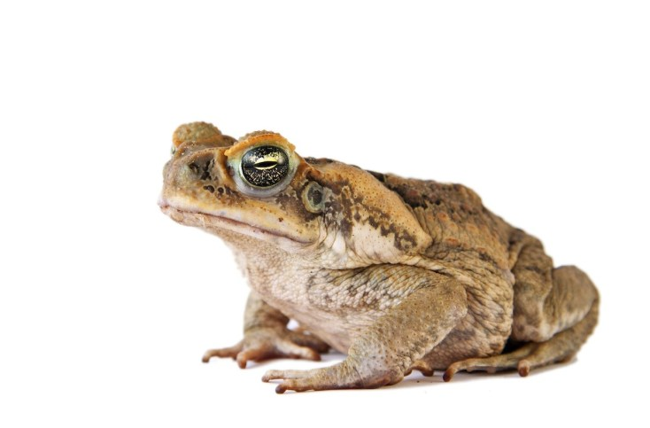 Bufo Cane Frog Toad Invasive Species
