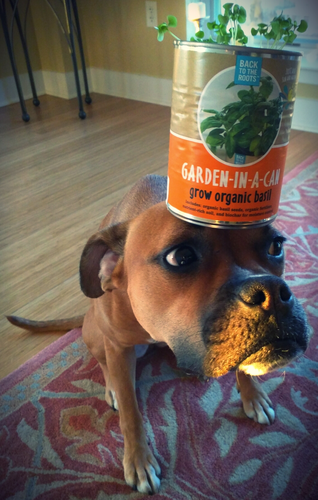 dog with basil in a can on head
