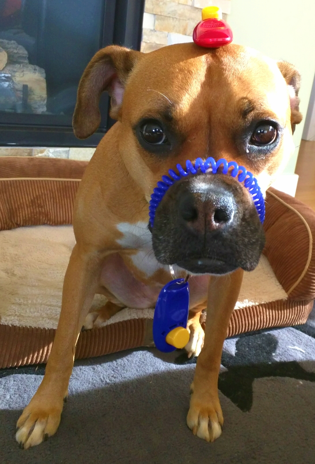 dog with clickers on face
