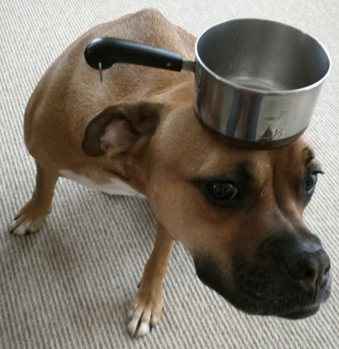 dog with pot on head