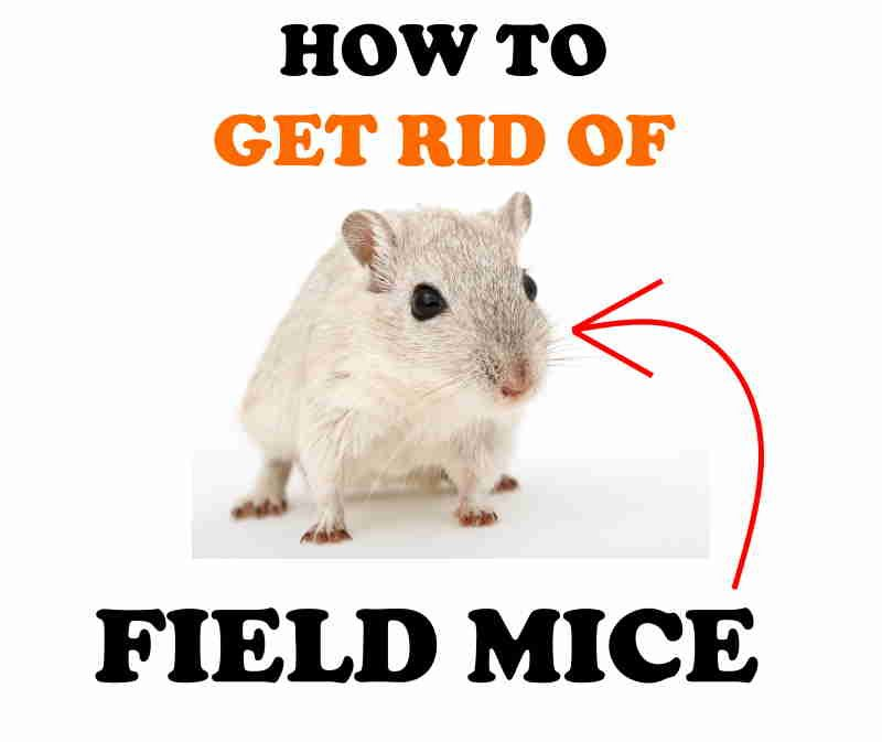 How to Get Rid of Field Mice Naturally (DIY Home Remedies) | BugWiz
