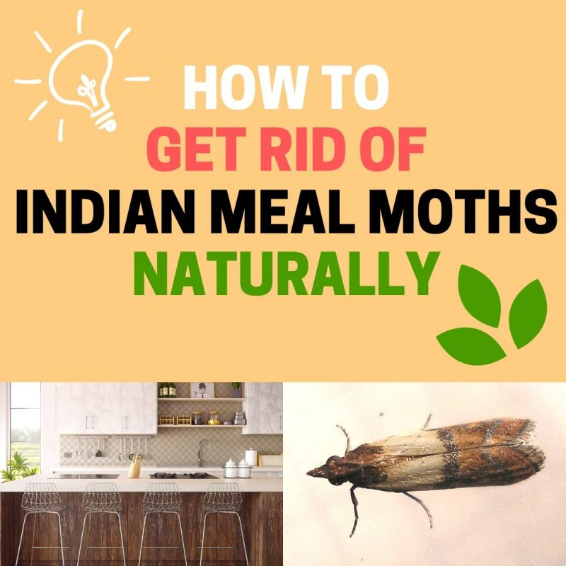How To Get Rid Of Indian Meal Moths Larvae And Eggs Bugwiz