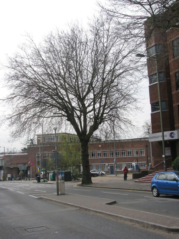 The London Plane next to East Finchley Station