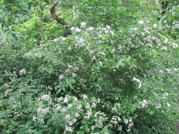 Hawthorn and Cow Parsley at the edge of the forest