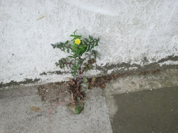 Smooth Sow Thistle (Sonchus oleraceus)