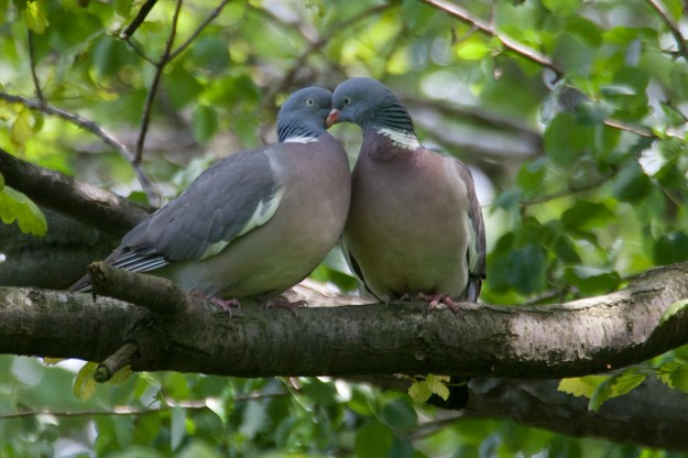 Amorous Woodpigeons By Jerzystrzelecki (Own work) [CC-BY-3.0 (http://creativecommons.org/licenses/by/3.0)], via Wikimedia Commons