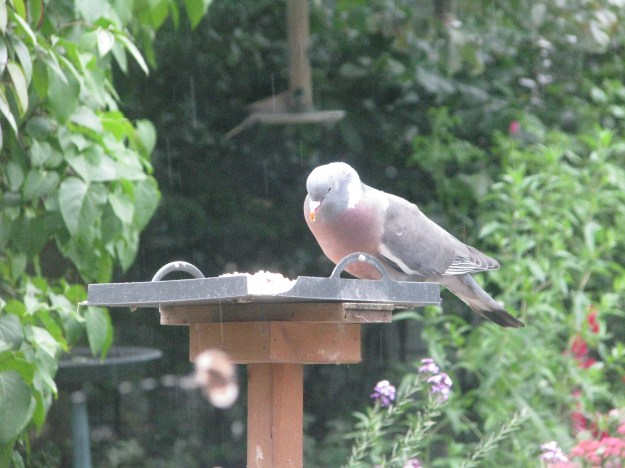 A young woodpigeon clearing up the food on the birdtable