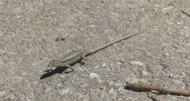 A Common Wall Lizard - I think the concrete must have been hot as this creature has raised its feet...