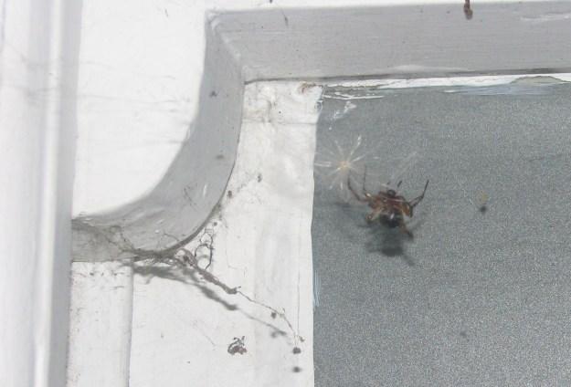 Laceweaver Spider (Amaurobius similis) tidying up her web