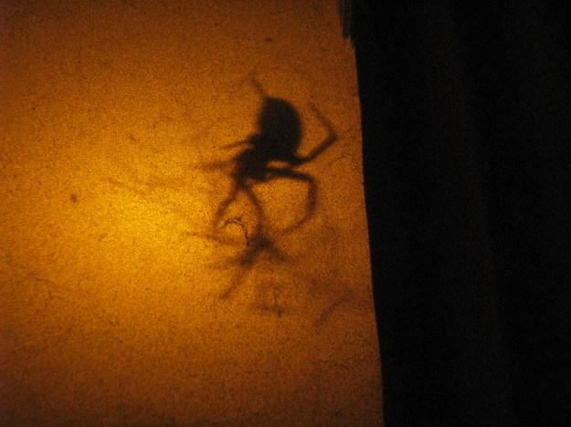 Blog Laceweaver Spider 016