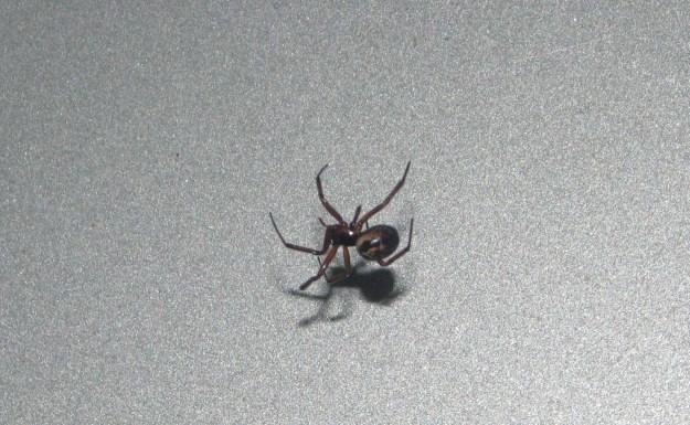 Blog Laceweaver Spider 020