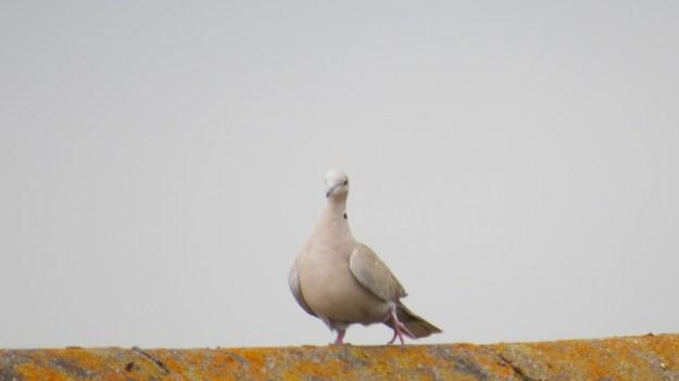 Collared Doves Garden Centre 012