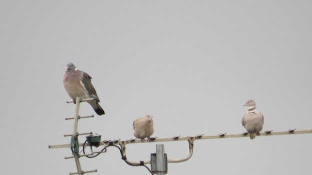 Woodpigeon plus Collared Doves living up to their German name....