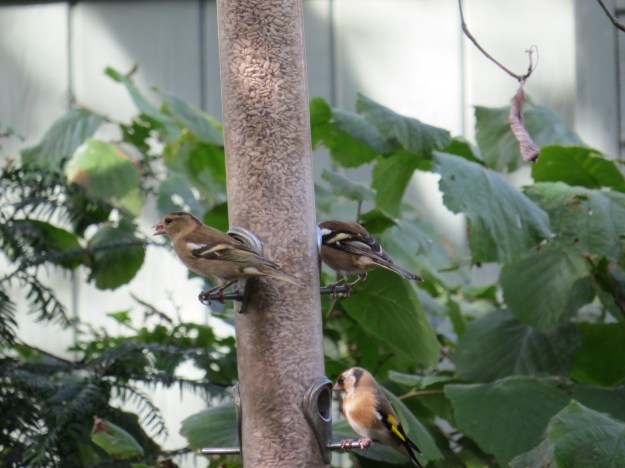 Male and Female Chaffinch and Goldfinch BP