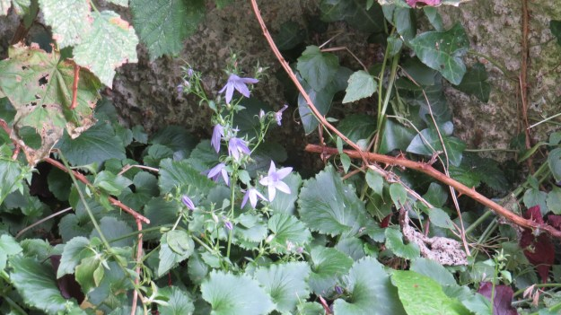 Trailing Bellflower (Campanula poscharskyana)