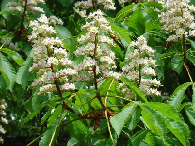 Horse Chestnut blossom 'Candles' - via Wiki, attribution uncertain.