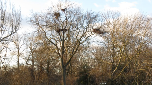 Regent's Park Heronry. No signs of activity just yet.