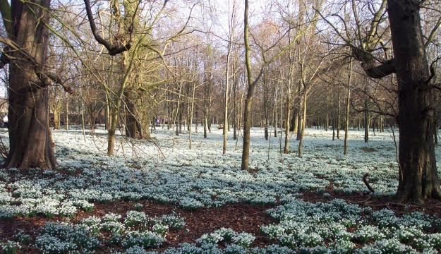 "Snowdrops at Welford Park, Berkshire (""Welford Park Snowdrops 1"" by Chris Wood (User:chris_j_wood). - Photograph by myself with original filename DCP_3674.JPG. Unmodified.. Licensed under CC BY-SA 3.0 via Wikimedia Commons - http://commons.wikimedia.org/wiki/File:Welford_Park_Snowdrops_1.jpg#mediaviewer/File:Welford_Park_Snowdrops_1.jpg)"