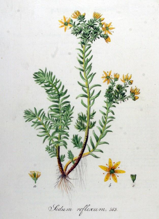Reflexed Stonecrop from the Flora Batava