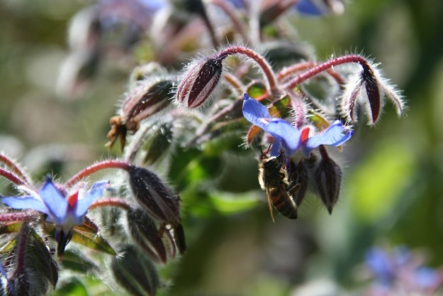 Bee on Borage, by Angela Sevin (https://www.flickr.com/photos/angela7/6545222797/)