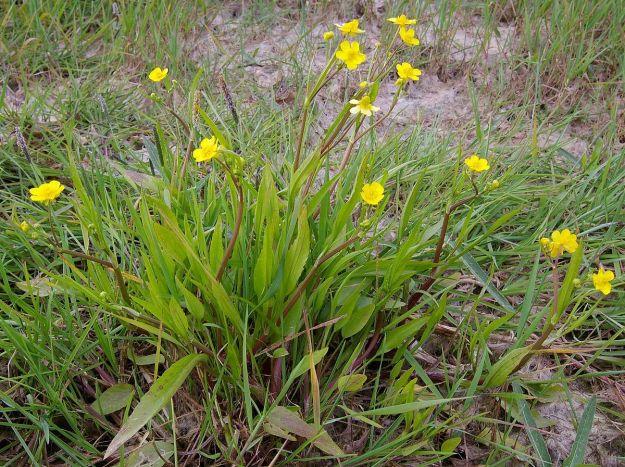 "Lesser Spearwort (Ranunculus flammula) (""RanunculusFlammula4"" by Christian Fischer. Licensed under CC BY-SA 3.0 via Wikimedia Commons - http://commons.wikimedia.org/wiki/File:RanunculusFlammula4.jpg#/media/File:RanunculusFlammula4.jpg)"