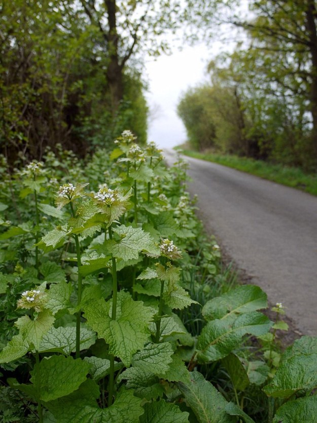 Garlic Mustard growing in North Eastern England ( © Copyright Andrew Curtis and licensed for reuse under this Creative Commons Licence.)