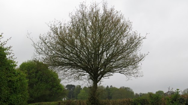 A tree that's been allowed to grow in the hedgerow - maybe a ploughing mark?