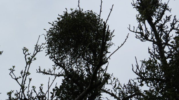 Mistletoe in one of the trees that have been allowed to grow in the hedge.