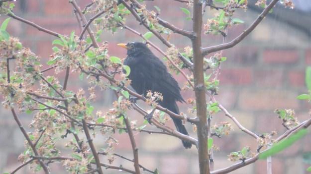 Blackbird in the rain ...