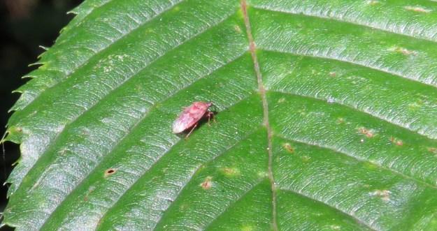 A Capsid Bug