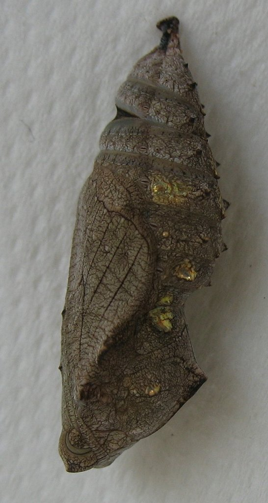 """Red Admiral Chrysalis (Red Admiral pupa (""""Chrysalis-butterfly-vulcan-chrysalide-papillon-vulcain-vanessa-atalanta-2"""" by Emmanuel Boutet - Own work. Licensed under CC BY-SA 3.0 via Wikimedia Commons - https://commons.wikimedia.org/wiki/File:Chrysalis-butterfly-vulcan-chrysalide-papillon-vulcain-vanessa-atalanta-2.jpg#/media/File:Chrysalis-butterfly-vulcan-chrysalide-papillon-vulcain-vanessa-atalanta-2.jpg)"""