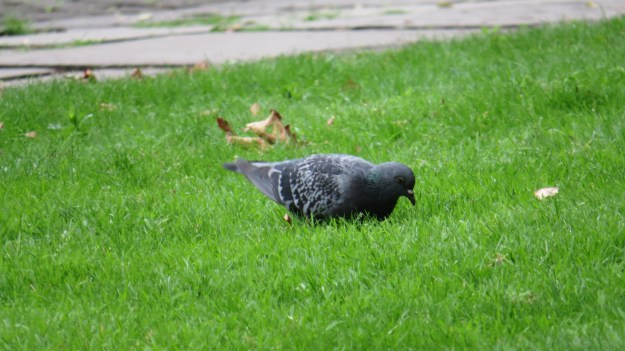 Chequered pigeon