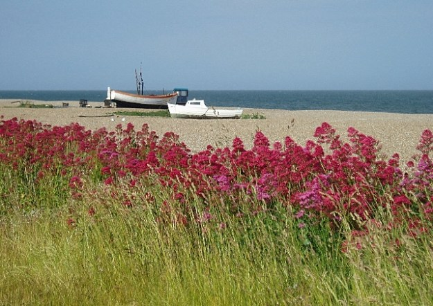 Red Valerian growing alongside Aldeburgh beach in Suffolk, UK (© Copyright Eileen Henderson and licensed for reuse under this Creative Commons Licence)
