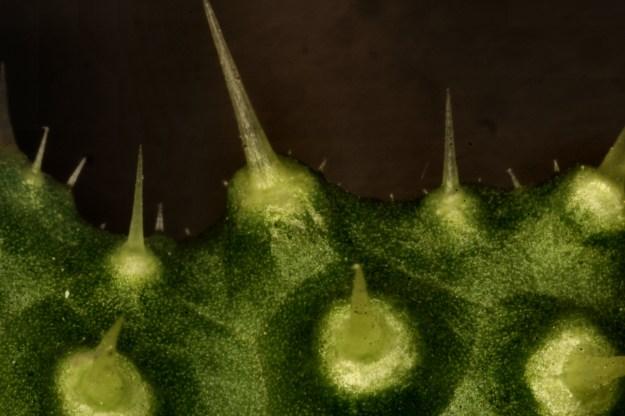 Close-up of Bristly Oxtongue hairs - photo credit below