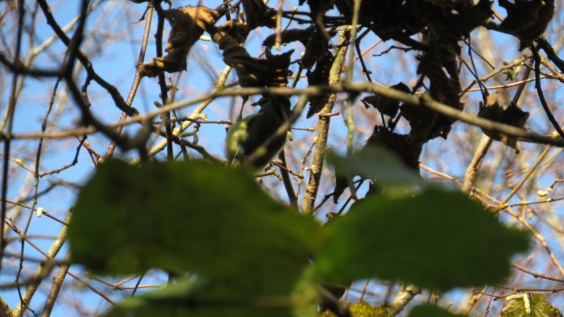 If you squint, you can just about make out the blue tit - he's left of centre. Look for the yellow bit.