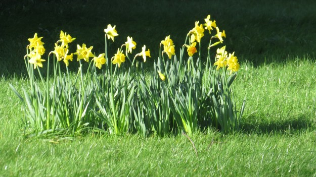 Some single-minded daffodils