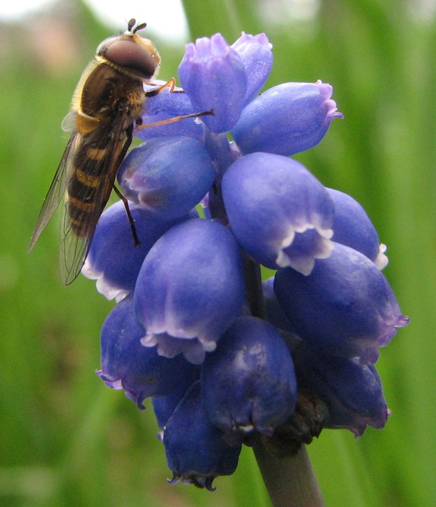 By This photo was taken by Ryan Bushby(HighInBC) with his Canon PowerShot S3 IS. To see more of his photos see his gallery. - en:Image:Syrphid fly on Grape hyacinth.jpg uploaded 18:23, 29 March 2007 by en:User:H, CC BY 2.5, https://commons.wikimedia.org/w/index.php?curid=3334796
