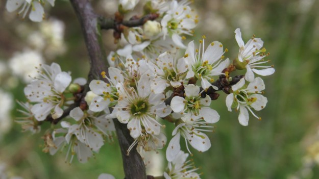 Blackthorn (Prunus spinosa) on Hampstead Heath on Saturday