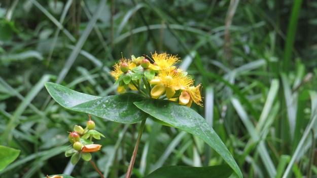 Tutsan (Hypericum androsaemum)