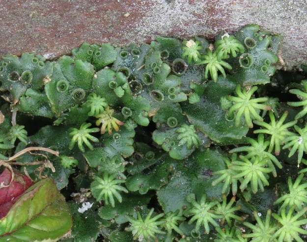 The thallus of the liverwort, and the 'cup-shaped receptacles'