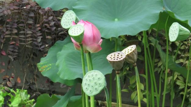Lotus (Nelumbo sp.)